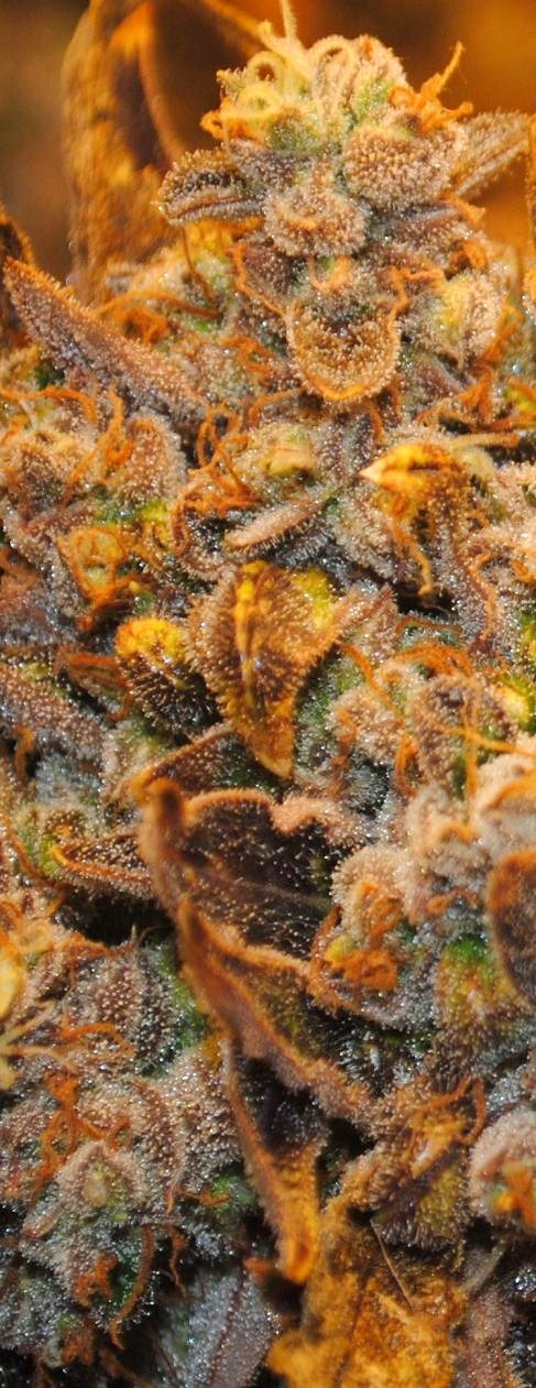 close up of sticky buds