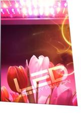 tulips under led grow light