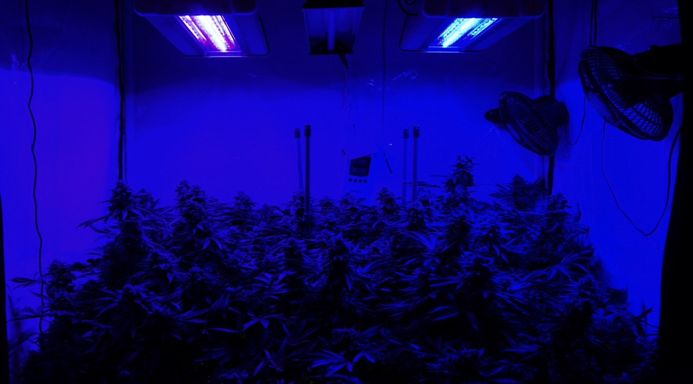 Blue Pink light growroom led ledbypassion cannabis