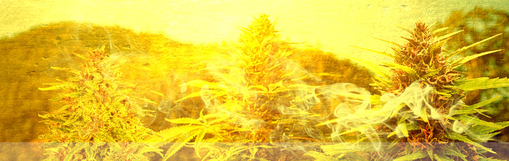 Acapulco Gold Cannabis