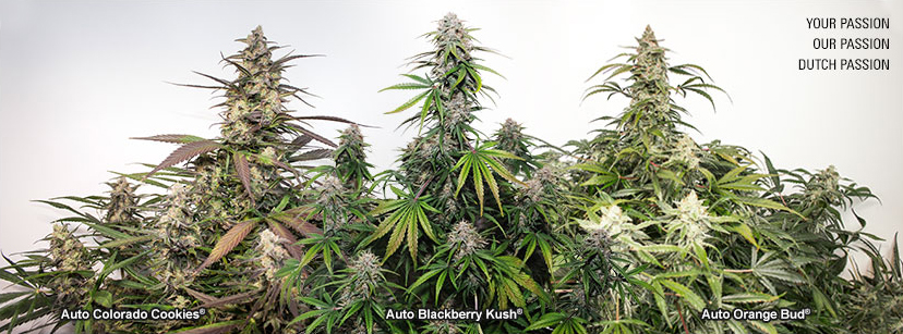 How to grow autoflower seeds