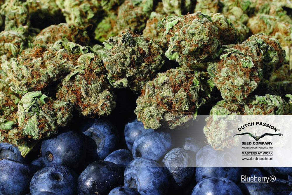 dutch-passion-seed-blueberry-and-blueberries