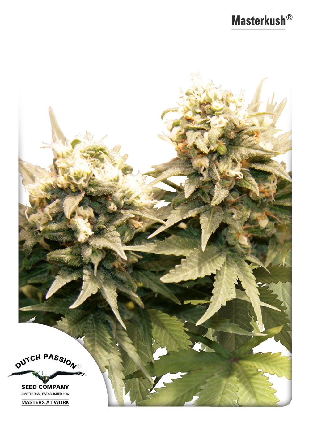Masterkush graines de cannabis f minis es et r guli res for Graine de cannabis interieur