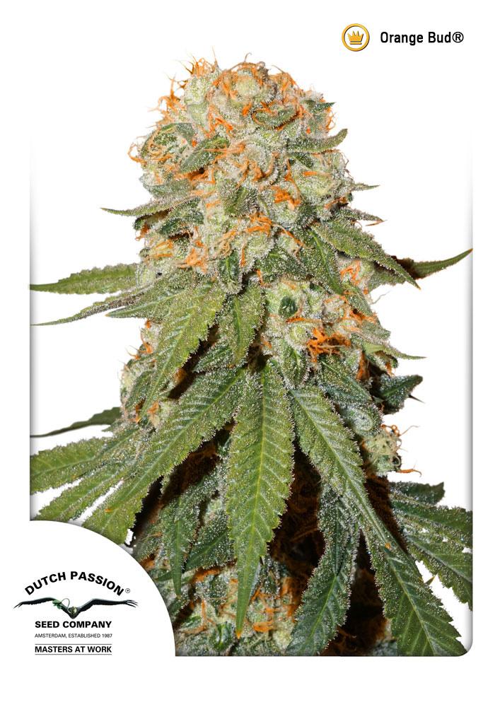 Orange Bud 174 Graines De Cannabis F 233 Minis 233 Es Dutch Passion