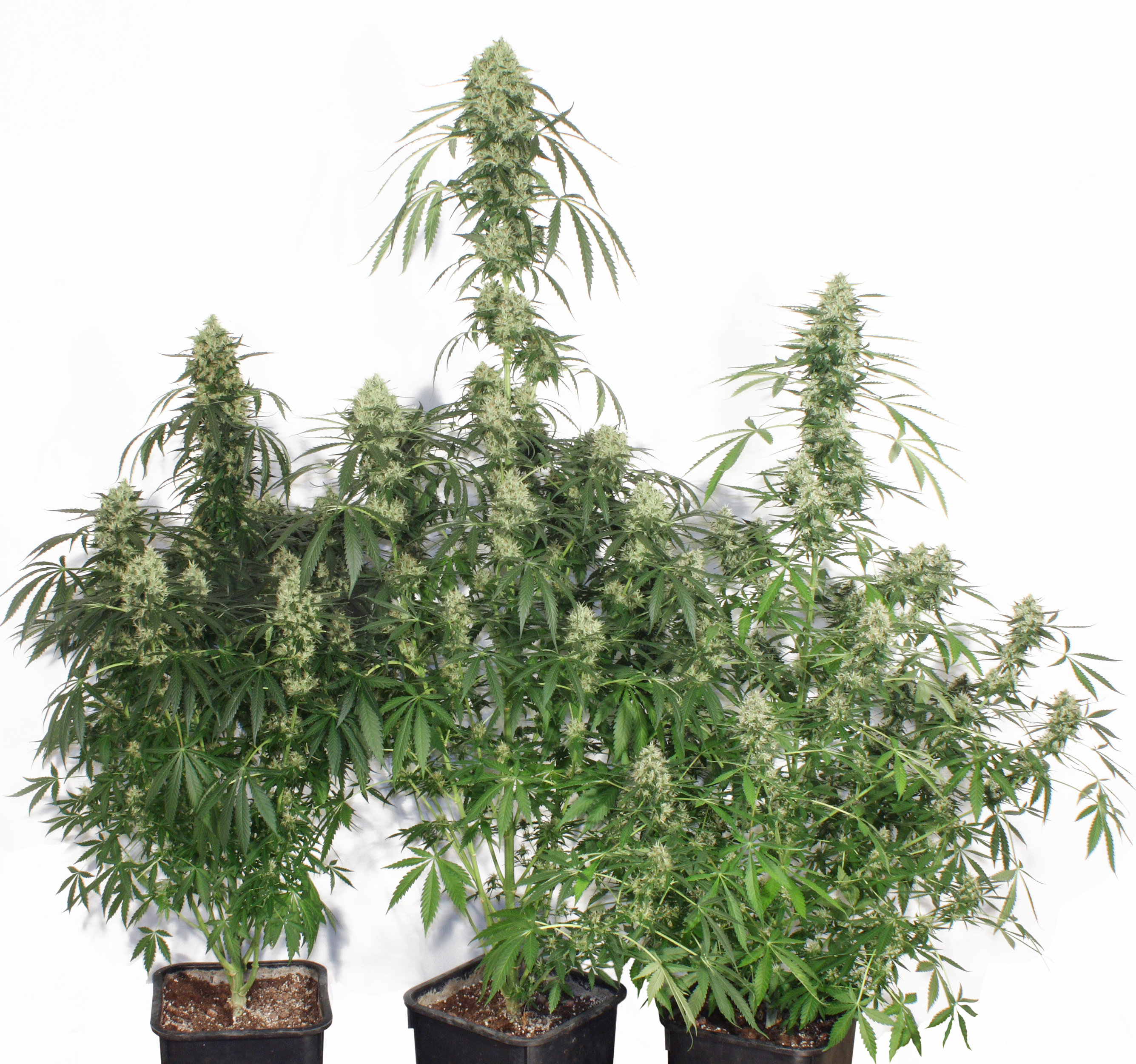 the ultimate feminized cannabis seeds buy safely from dutch