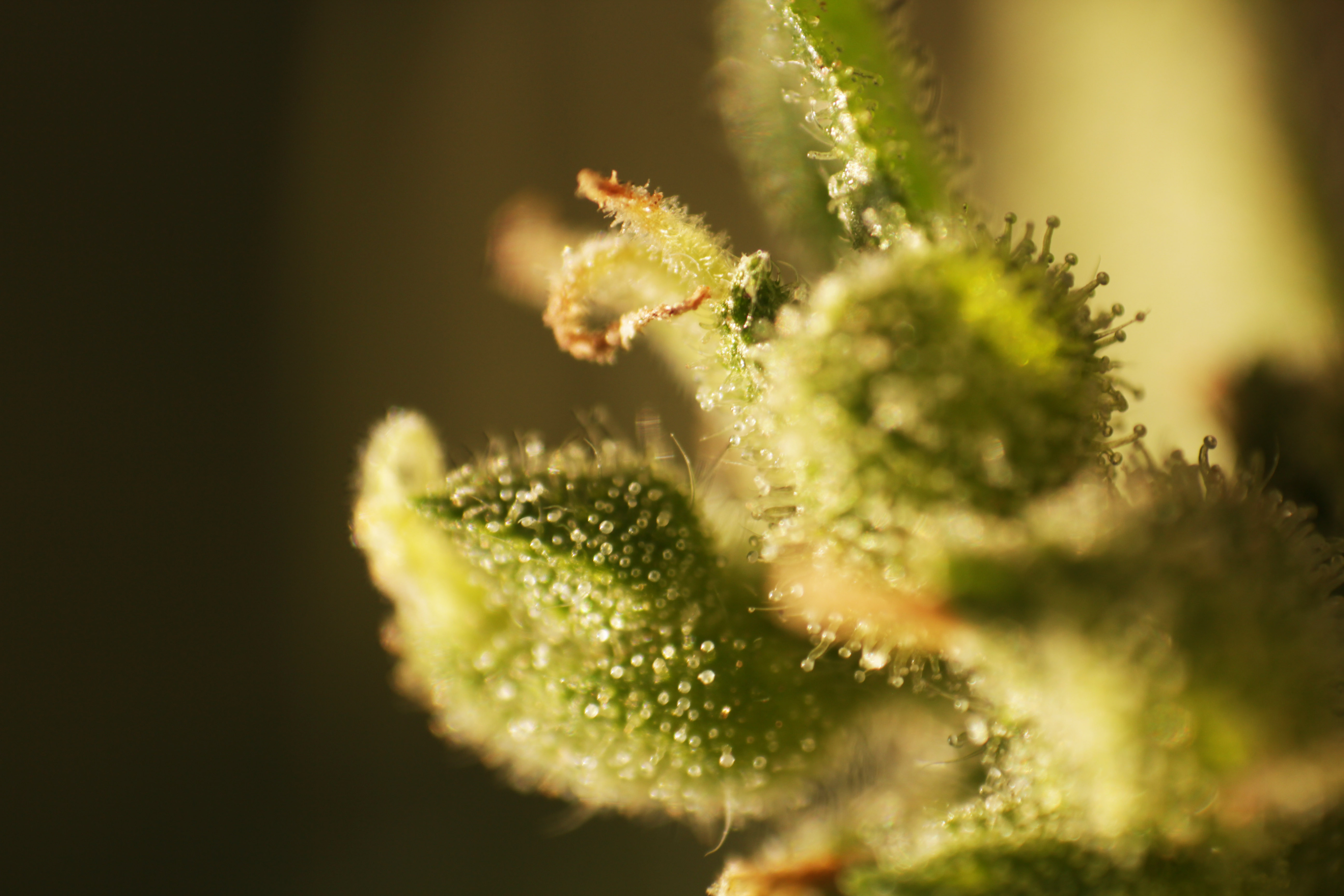 Think different graines de cannabis autofloraison for Graines de cannabis exterieur
