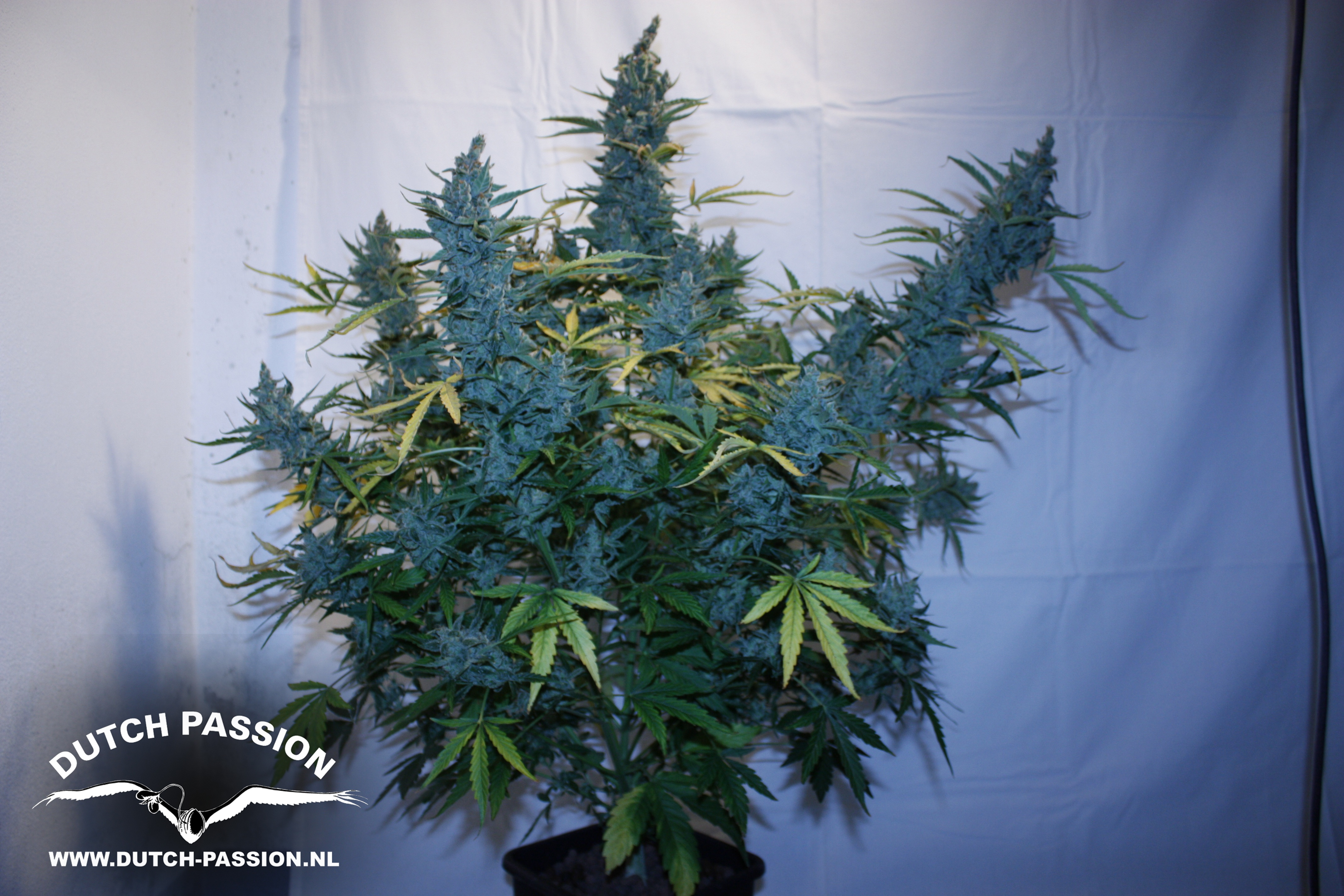 Safe Auto Customer Service >> Tundra - Auto Flowering Cannabis Seeds - Buy safely from Dutch Passion